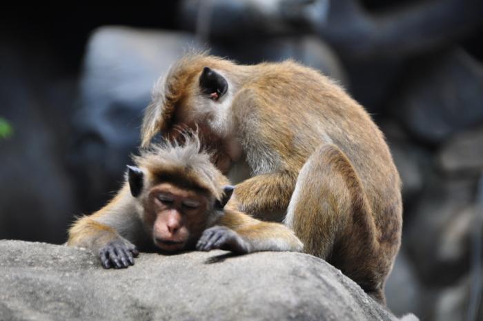Affenpaar Sri Lanka