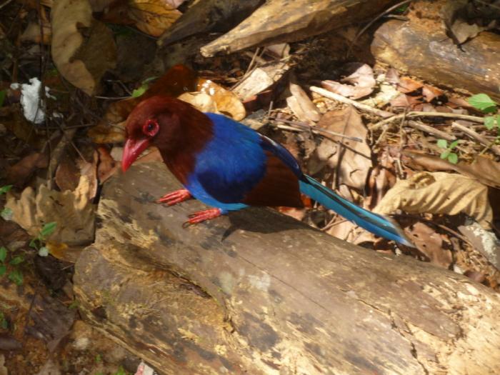 Blue Magpie, Sinharaja Regenwald