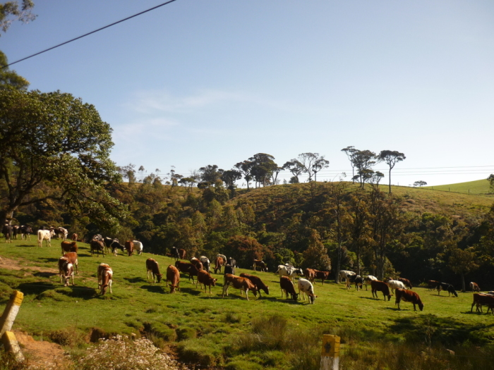Rinderherde Horton Plains