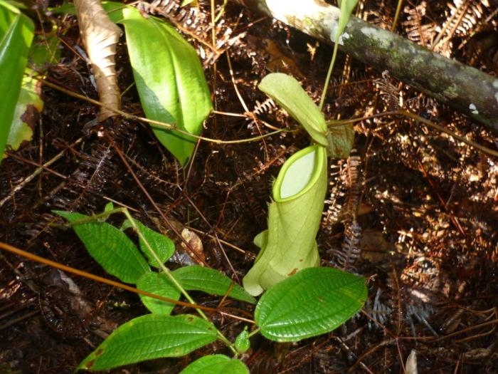 Kammerpflanze Sinharaja Regenwald