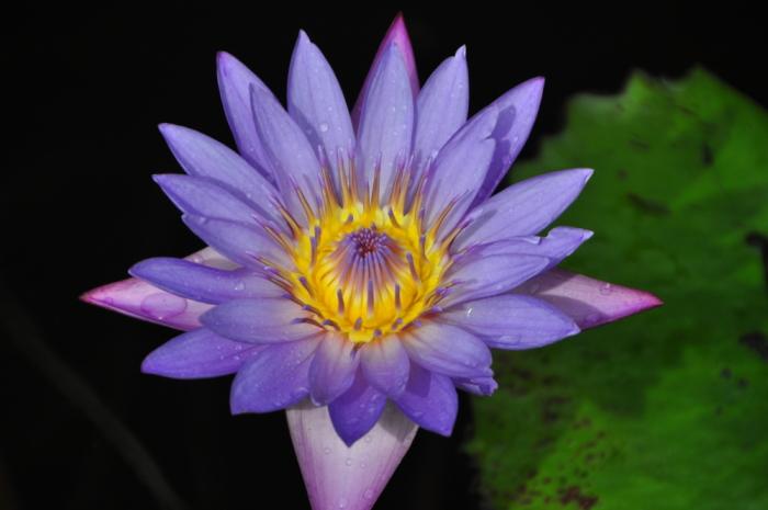 Lotusblüte Sri Lanka