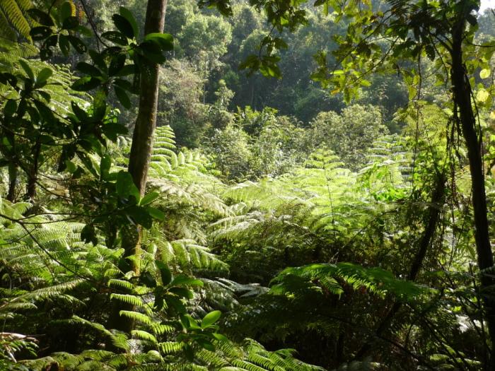 Farn Sinharaja Regenwald