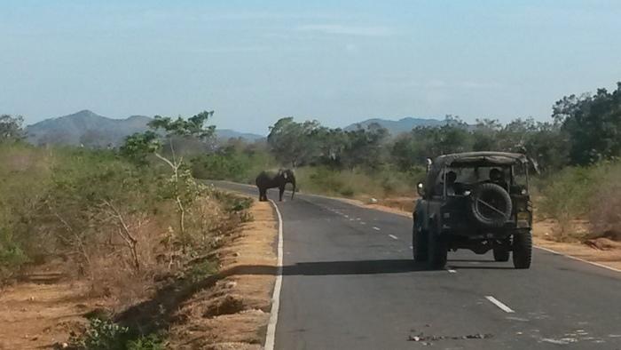 Elefant auf Straße Yala