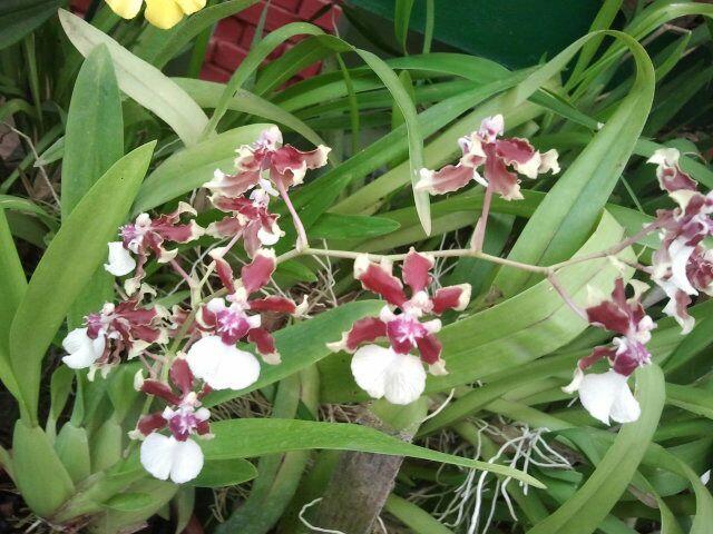 Wilde Orchideen Botanischer Garten Kandy
