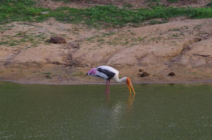 Storch im Bundala Nationalpark