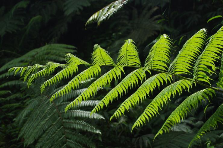 Farn im Sinharaja Regenwald